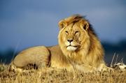 Making A Dead Lion Roar