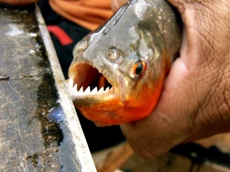 Piranha Scissors