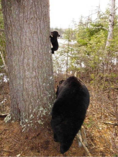 Baby Bears First Climbing Lesson [Cute Picture]
