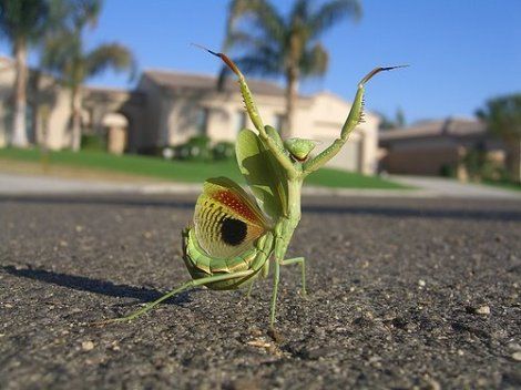 Fabulous Mantis is Fabulous [Funny Picture]